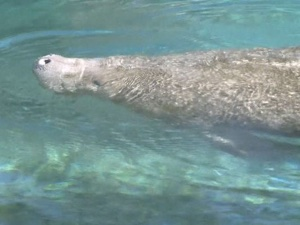 Feds look to expand crack down on swimming with manatees