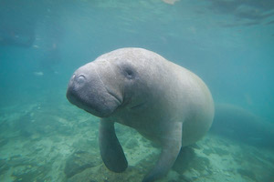 Swim with the Manatee in the Florida Springs