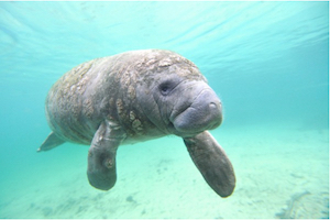 FAU researcher hopes device will help lower manatee deaths