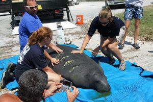 Manatee population continues to recover