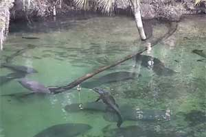 Alligator swims peacefully with manatees at Blue Spring