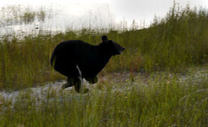 County leaders hope for bear-hunt ban