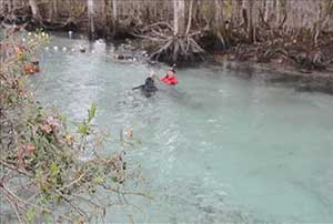 Cold manatee rescued from Three Sisters Springs