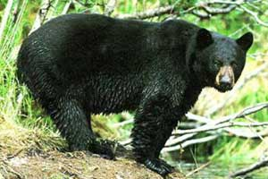 Beth Kassab: State laying groundwork for another bear hunt
