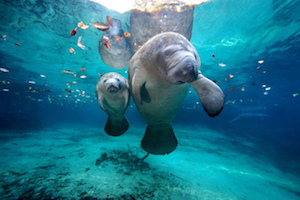 In Winter Florida Really Loves Its Manatees