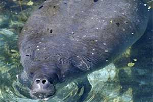 Pregnant manatee to be moved Tuesday