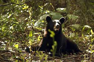 State wildlife officials put one-year pause on bear hunting