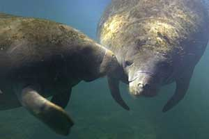 SFWMD hopes touchless manatee detectors will curb deaths