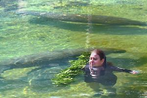 Rescued manatees arrive for stay in Homosassa