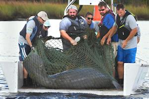 Injured manatee early warning of need for caution on the water