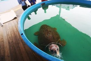 Rescue network saves sick manatees, sea turtles from toxic red tide