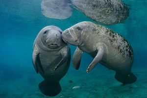 Pensacola, look out for manatees affected by toxic red tide algae