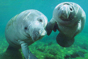 Look out for Manatees when you are fishing