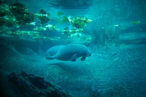 Manatees in peril as toxic red tide tests Florida's resources for rescued animals