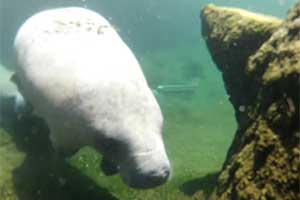 Revival in the number of manatees in St. Johns River