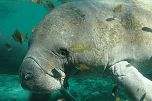 DNR provides information about migrating manatees
