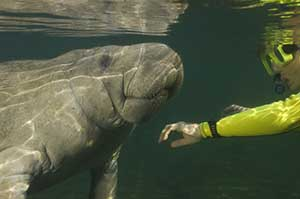 Even Manatees Need Their Space: Proposal to Restrict Public Contact