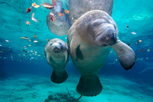 Florida Manatee: 10% of Population Could Be Wiped Out This Year