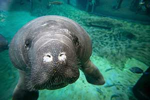 Columbus Zoo returns 2 manatees to Florida waters