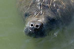 Manatee viewing center opens for the season on Sunday