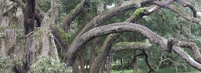 Live Oak at Salt Springs