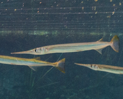 Strongylura marina - Atlantic needlefish