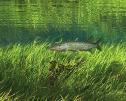 Esox niger - Chain pickerel