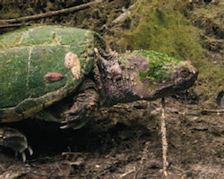 Macrochelys spp. - Alligator snapping turtle