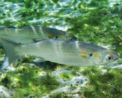 Mugil cephalus - striped mullet