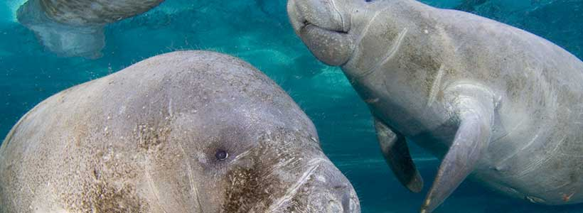 ManateePics | Just Passing By