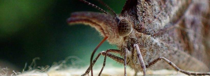 Joshua Birmingham | American Snout Butterfly