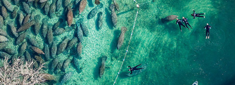 Florida Nature Photography | Manatees from above