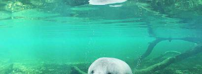 A Manatee Waving Hello