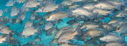A Cloud of Mangrove Snappers
